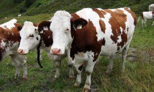 Help! Een koe op de wandelroute