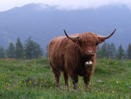 Wat te doen bij een koe op je wandelroute