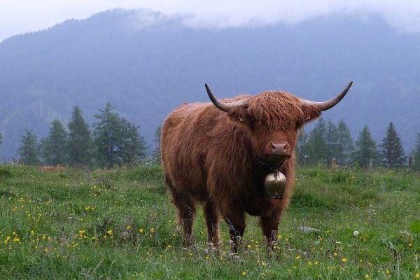 Koe in de bergen