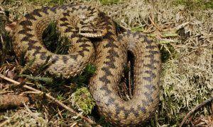 Deze slangen kan je tegenkomen in Oostenrijk