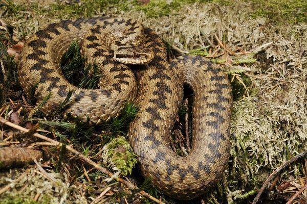 adder is de meest giftige slang van Oostenrijk