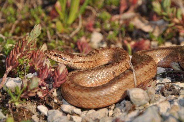De gladde slang is niet giftig