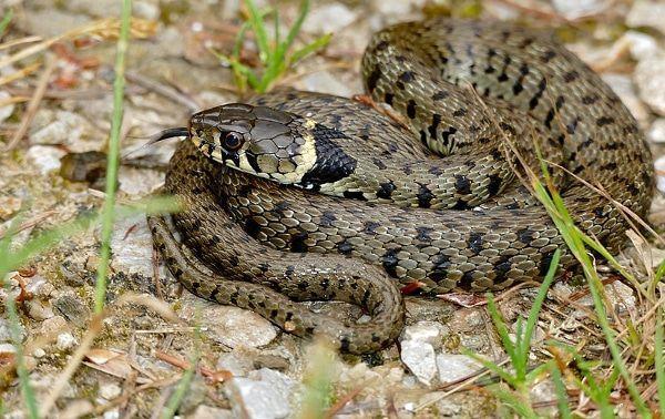 de ringslang is de meest voorkomende slang in oostenrijk