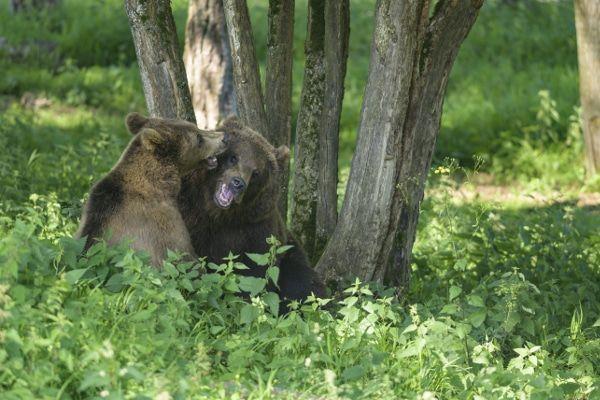 beren bij grotten van han