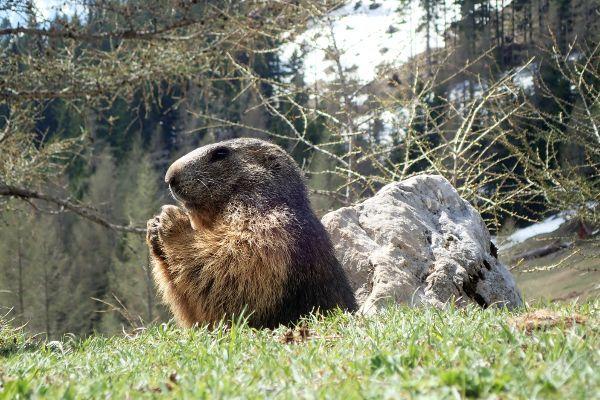 """De alpenmarmot of """"Murmeltier""""."""