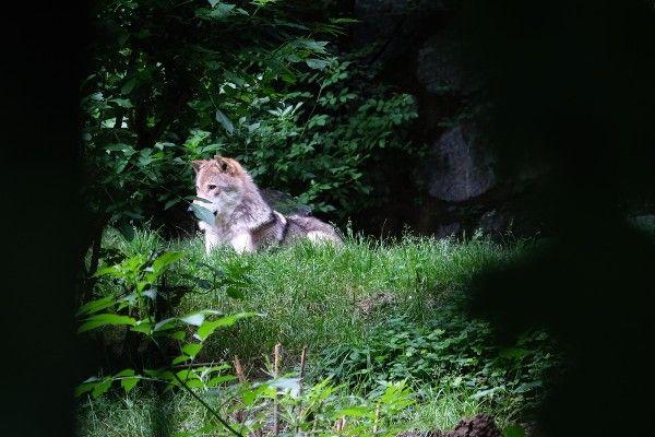 Wolf in de Alpenzoo